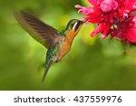 flying hummingbird. orange and... | Shutterstock . vector #437559976