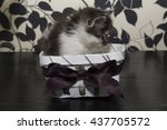 small black and white cat in... | Shutterstock . vector #437705572