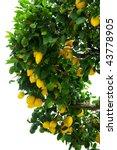 Lemon tree. - stock photo