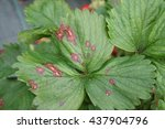 Small photo of Leaf spot disease on a strawberry plant.