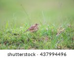 Small photo of African Pipit (Anthus cinnamomeus) in Volcano National Park,Rwanda