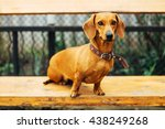 dachshund dog  in outdoor.... | Shutterstock . vector #438249268