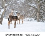 Whitetail Deer Doe And...