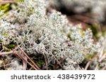 Reindeer Lichen Cladonia...