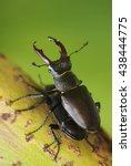 Stag Beetle  Lucanus Cervus ...