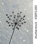 fennel  snow   Shutterstock . vector #43851283