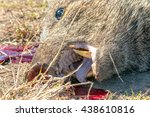 a close view of a collared... | Shutterstock . vector #438610816