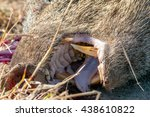a close view of a collared... | Shutterstock . vector #438610822