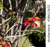 Small photo of Brilliant spectacular red poinsettia euphorbia species in bloom on a leafless bush in early winter creates a delightful splash of color against the blue Australian sky in the drab garden landscape.