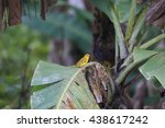 Small photo of African Citril (Crithagra citrinelloides) in Rwanda