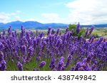 violet lavender field in the... | Shutterstock . vector #438749842