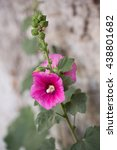 Small photo of Macrophotography of a wild flower (Alcea rosea)