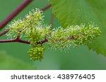 Grapes  Flowering Vine  Green...