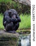 Chimpanzee Sitting By Waterfall