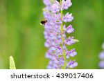 Flower Lupin And Bee ...