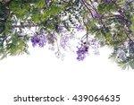 Jacaranda Tree Blossoming With...