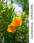 Yellow Oleander Flowers With...