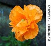 Orange Welsh Poppy Flower ...