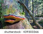 Small photo of Red belted conk on a tree trunk