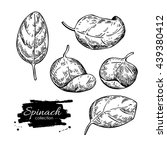 spinach leaves hand drawn... | Shutterstock .eps vector #439380412