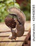 Grey Squirrel Doing Acrobatics...