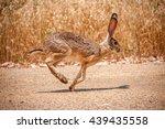 Stock photo rabbit running on desert road in front of grass 439435558