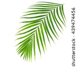 Green Leaves Of Palm Tree...