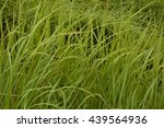 Small photo of Alang-alang, Blady grass.