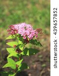Small photo of Spiraea japonica (Japanese spiraea)