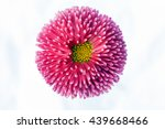 pink chrysanthemum flower on... | Shutterstock . vector #439668466