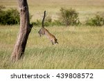 Stock photo leaping leopard 439808572
