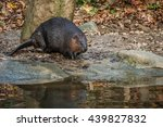canadian beaver descends from... | Shutterstock . vector #439827832