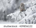 Great Grey Owl Srix Nebulosa I...