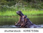 Hippopotamus In Kruger Nationa...