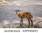 Small photo of Brown goat bleat standing on the ground