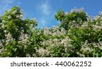 Blooming tree catalpa against blue sky - stock photo