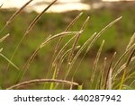 Small photo of Alang-alang, Blady grass in Evening Sun