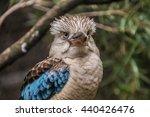 Big Australian Kookaburra....