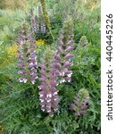 Small photo of Acanthus balcanicus, endemic herbaceous perennial plant. Acanthaceae family.