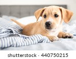 Stock photo terrier mix puppy sleeping laying in human bed 440750215