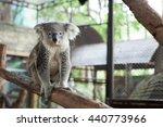 australian koala bear sitting... | Shutterstock . vector #440773966