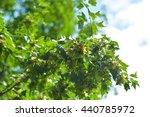 Small photo of Plant latin name? Acer buergerianum Miq.
