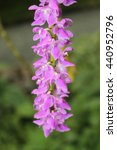 "Small photo of White-purple ""The Multi-Flowered Aerides"" orchid in St. Gallen, Switzerland. Its Latin name is Aerides Multiflorum Roxbury, native to Himalaya and south Vietnam."