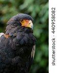Small photo of Close up of Bateleur Eagle ( disambiguation)