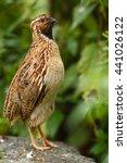 Common quail  coturnix coturnix ...