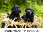 Stock photo two beautiful purebred black puppy dog labrador sitting in the summer on the nature in the straw 441040018