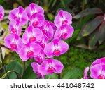phalaenopsis are blooming in... | Shutterstock . vector #441048742