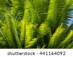 fresh palm tree fronds... | Shutterstock . vector #441164092