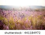 violet french lavender field... | Shutterstock . vector #441184972
