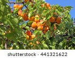 Fresh Ripe Apricots On Tree